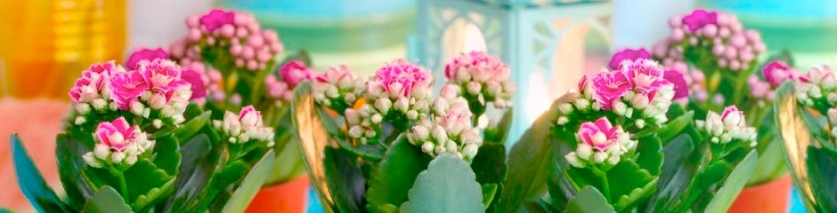 Kalanchoe Double Flower